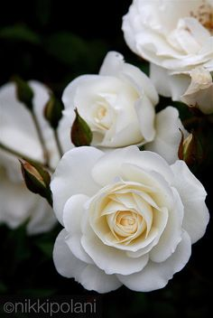White Iceberg roses - perfect for east-facing hedge