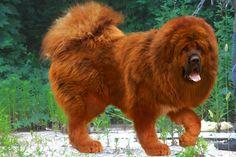 want .Tibetan Mastiff