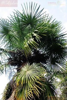 Trachycarpus fortunei var. Winsan