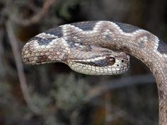 snake cane 31 022
