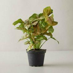 Pink Allusion Syngonium Podophyllum Arrowhead Plant / FREE SHIPPING