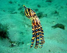 Hapalochlaena maculosa #octopuss