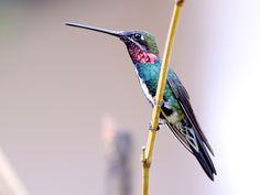 Foto bico-reto-de-banda-branca (Heliomaster squamosus) por José Amaral | Wiki Aves - A Enciclopédia das Aves do Brasil
