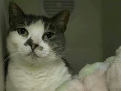 Please save Claude an adorable kitty.eill be killed tomorrow at ACC shelter in New York City URGENT visit pets on death row on Facebook URGENT.