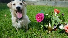 Emma is an adoptable Terrier searching for a forever family near Houston, TX. Use Petfinder to find adoptable pets in your area.