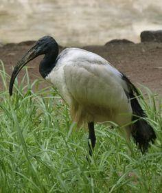 sacred ibis - Google Search