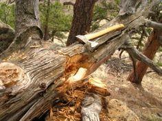 Fallen Fatwood