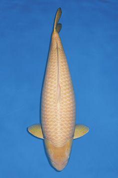 Die Königsklasse. Unabhängig davon ,ob man einen Jumbo-Koi mit mehr als 70 oder mehr als 80 cm definiert sind sie die oberste Klasse an Koi.