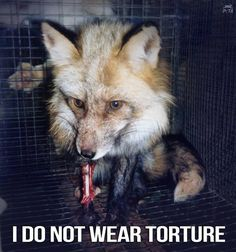 Caged fur farm victims, chew on their own limbs and throw themselves up against the side of their cages out of...