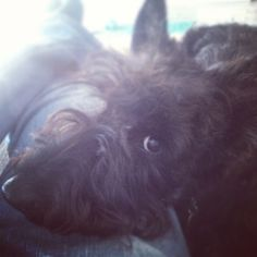 Scottish terrier Matico.