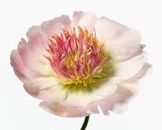 Big Blooms | MARILYN, 2011 by Paul Lange