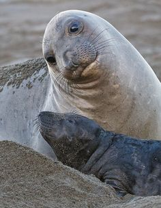 Elephant Seal Mother and Pup, San Simeon, California