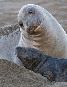 Terschelling - zeehonden
