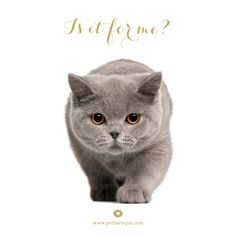 Are you curious? Just a bit? #curious, #british, #cat, #designer, #petbaroque, #cats, #catsonpinterest, #european, #petproducts, #soon, #brandlaunch