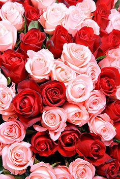 Red Pink Roses Wallpaper for Bedroom Walls