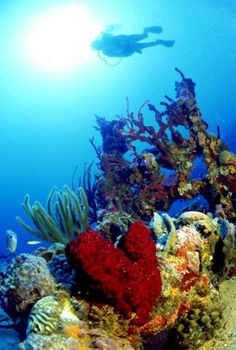Scuba diving Florida Keys you'll encounter numerous species of coral