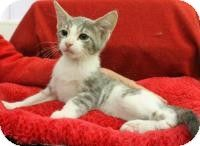 Blackwood, NJ - Domestic Shorthair. Meet Beans a Kitten for Adoption.
