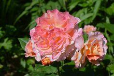 Augusta Luise – voiko tämä vielä komistua? : | Vesan viherpiperryskuvat – puutarha kukkii