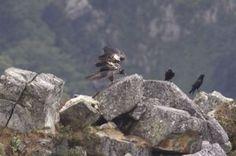 Una pareja de quebrantahuesos vuela en Picos de Europa 80 años después de su extinción