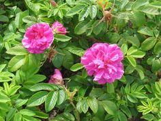hansaruusu - Rosa rugosa ´Hansa´