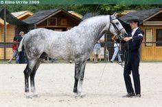 Lusitano - stallion Xui