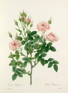 Pierre Joseph Redouté -- Rosier Pompon : Rosa Pomponia -- Rose -- View By Flower -- RHS Prints