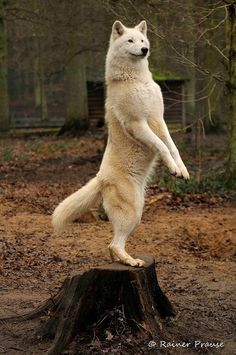 White wolf on 2 feet