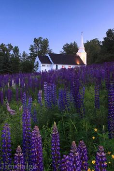 Sugar Hill, NH.  Lupines.  In a bunch.