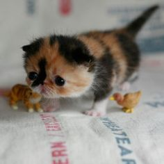 I dare you to show me something cuter than this baby Scottish Fold kitten. Posted by my life as pikachu on Tumblr.