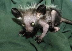 THIS is a baby Aye Aye!