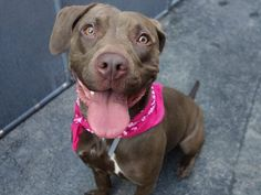 Manhattan center XENA – A1078943  FEMALE, CHOCOLATE, LABRADOR RETR MIX, 1 yr OWNER SUR – EVALUATE, NO HOLD Reason MOVE2PRIVA Intake condition UNSPECIFIE Intake Date 06/26/2016, From NY 10456, DueOut Date 06/26/2016