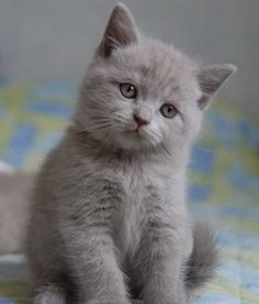 WANT - I do believe this particular kitten just might be the quintessential gray velvet furball!!  (note: it's actually a British Shorthair Lilac- colored Kitten)