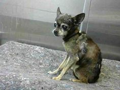 San Bernardino, CA -SENIOR ALERRT!!!! 15 years o9ld!!! Chihuahua. Meet URGENT on 12/7@DEVORE SanBern a Dog for Adoption.