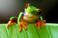 Looks like a poison arrow frog