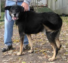 Shep is an adoptable German Shepherd Dog searching for a forever family near Kittanning, PA. Use Petfinder to find adoptable pets in your area.