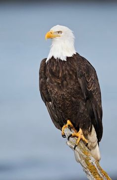 How high can a bald eagle fly - Answers Beautiful Birds, Animals Beautiful, Bird Of Prey Tattoo, Eagle Facts, Bald Eagle Pictures, Eagle Artwork, Bald Eagle Tattoos, Eagle Wallpaper, Eagle Drawing