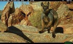 A black-flanked rock wallaby captured on sensor camera near Parnngurr in Western Australia in 2014. Photograph: M Huber Three-year program to monitor and sustain an isolated population of black-flanked rock wallabies, aka joeys, in Western Australia has started to bear fruit A threatened species of wallaby has been thrown a lifeline by the work of Indigenous rangers in a remote part of Western Aus