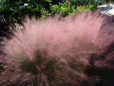 Muhlbergia is a variety of ornamental grass with spectacular showgirl flair. The common name is muhly grass and it is extremely hardy and easy to grow. What is muhly grass? Read here to learn more.