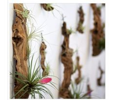 Grape Wood Tillandsia Garden A perfect natural element to hang on the wall or use as a centerpiece. Tillandsias are often called air plants because they thrive without soil. Give them a bright spot indoors and mist them with water every couple of weeks. Air Plants, Garden Plants, Indoor Plants, Hanging Plants, Garden Web, Garden Design, Flora Grubb, Little Plants, Plant Wall