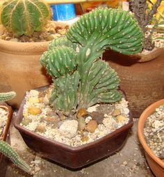 Mis Plantas - My plants: Cactus: Echinopsis pachanoi crestado
