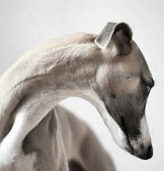Best Present Ideas And Whippet Themed Gifts For Whippet Lovers & Owners - African dog breeds - Chien Whippet Puppies, Whippets, Dogs And Puppies, Doggies, Corgi Puppies, Beautiful Dogs, Animals Beautiful, Beautiful Lines, Beautiful Curves