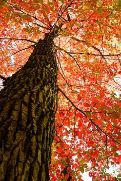 Looking Up At Canopy Of Red, Orange And Green Leaves On A Tree by Kelli Kim