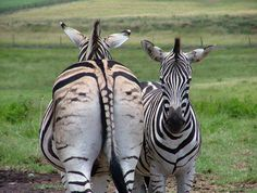 Zebras Back and Front South Africa Digital Photograph JPG Download on Etsy, $4.00