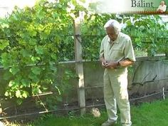 10 gyümölcsfa helyes metszése (videó tanfolyam, 2013 tavaszára): Bálint gazda 10 kerti gyümölcsfa metszését tanítja meg 100 perc alatt. A metszés gyümölcsei ...