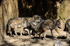 タイリクオオカミ(ヨーロッパオオカミ) : 動物園へ行こう