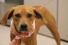 ADOPTED>NAME: Lexie  ANIMAL ID: 30660261  BREED: Retriever mix  SEX: female  EST. AGE: 6 mos  Est Weight: 34 lbs  Health: heartworm neg  Temperament: dog friendly, people friendly.  ADDITIONAL INFO: RESCUE PULL FEE: $49  Intake date: 1/21  Available: Now