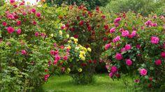 Rosen umpflanzen: Das müssen Sie beachten