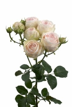 Porcelain Lace, Clustar Roses