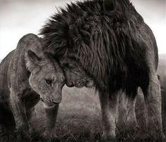 Фото Лев и львица уткнулись лбами друг в друга