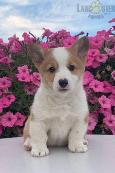 #WelshCorgi #Pembroke #Charming #PinterestPuppies #PuppiesOfPinterest #Puppy #Puppies #Pups #Pup #Funloving #Sweet #PuppyLove #Cute #Cuddly #Adorable #ForTheLoveOfADog #MansBestFriend #Animals #Dog #Pet #Pets #ChildrenFriendly #PuppyandChildren #ChildandPuppy #BuckeyePuppies www.BuckeyePuppies.com Welsh Corgi Puppies, Pembroke Welsh Corgi, Puppies For Sale, Mans Best Friend, Puppy Love, Pets, Animals, Animales, Animaux